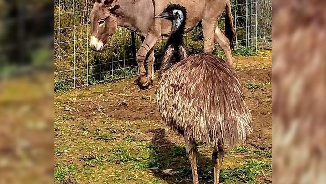 Jack Si Keledai dan Diane Si Emu. (Carolina Waterfowl Rescue)