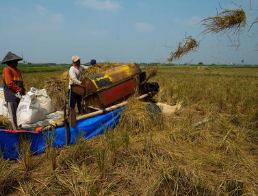 Serangan Hama dan Cuaca Buruk, Hasil Panen Padi Turun di Bekasi