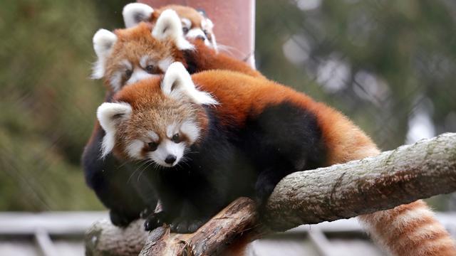 Bayi Panda Merah Lahir di Woodland Park Zoo