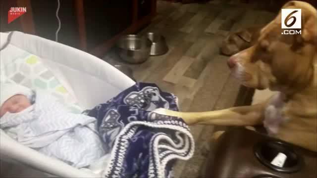 Seekor anjing pittbull menjaga bayi yang tengah tertidur lelap.