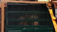 Seekor orangutan sumatera yang direpatriasi dari Malaysia tiba di Bandara Kualanamu, Deli Serdang, Sumatera Utara (Sumut)