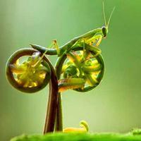 belalang sembah (foto: istimewa)