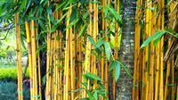 Selain sebagai penghias taman atau pagar rumah, Bambu Kuning dipercaya mampu menolak maling atau pencuri. Konon, kekuatannya semakin bertambah jika ditanam berdampingan dengan Tebu Ireng. (Istimewa)