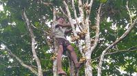 Seorang tandem dari Hermansyah saat memanjat pohon duku di kompleks Percandian Muarajambi, Jambi, Sabtu (22/2/2020). Pengunjung di candi Muarajambi bisa melihat aktivitas panen duku dari pagi hari. (Liputan6.com /  Gresi Plasmanto)