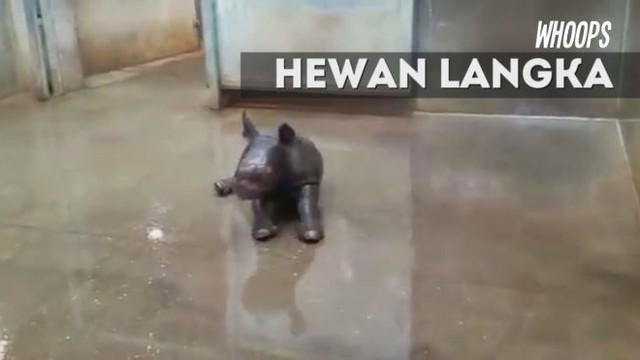 Pihak kebun binatang akan melakukan galang dana untuk menamai bayi badak yang lahir 17 Oktober 2016 ini.