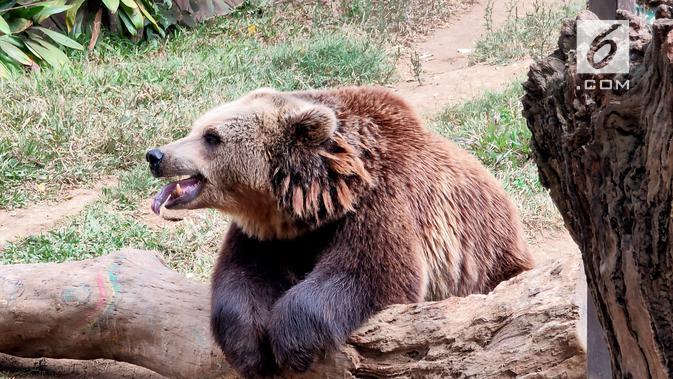 Memotret beruang dengan mode 6x zoom Oppo Reno 10x Zoom (Liputan6.com/ Agustin Setyo W)