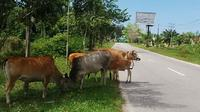 Sapi berkeliaran di Kabupaten Tanjabtim. (Liputan6.com/Bangun Santoso)