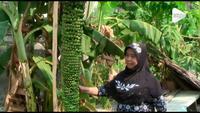 Pohon pisang di Gresik Jawa Timur hebohkan warga karena tumbuh dengan jumlah buah dan ukuran yang tak biasa.