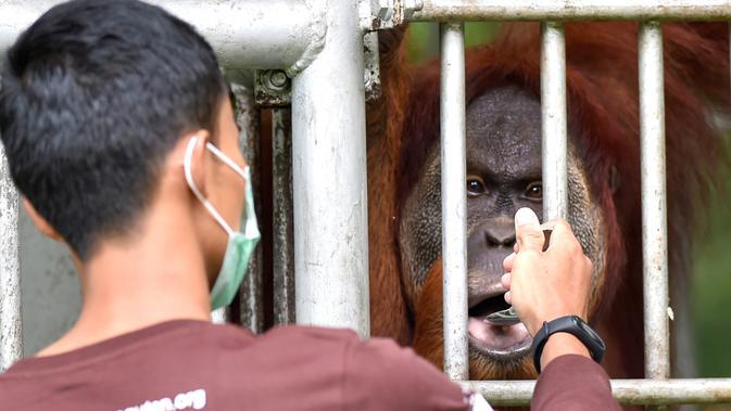 Penjaga hutan memberi makan orangutan bernama Elaine sebelum dilepasliarkan di Cagar Alam Hutan Pinus Jantho, Aceh Besar, Selasa (18/6/2019). Dua orangutan yang dilepasliarkan oleh BKSDA Aceh dalam kondisi sehat. (CHAIDEER MAHYUDDIN/AFP)