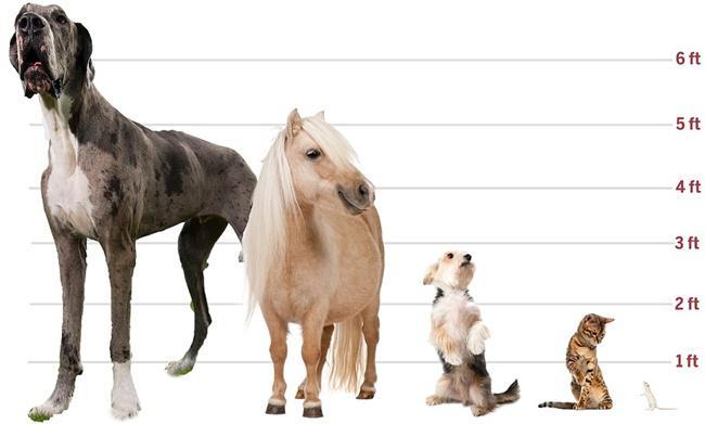 Saking besarnya, Major bahkan lebih besar dari kuda poni sekalipun | Photo: Copyright asiantown.net