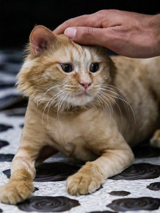 Foto Melihat Kenyamanan Hotel Khusus Kucing Pertama Di Irak Lifestyle Liputan6 Com
