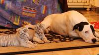 Seekor anjing jantan mengasuh bayi harimau yang ditolak oleh induknya sendiri. Bagaimana kisahnya?