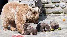 Tiga bayi beruang cokelat Suriah bermain dengan ibu mereka, Martine, di kandang mereka di Kebun Binatang Servion, Swiss, Selasa (17/4). Tiga bayi beruang lahir pada 19 Januari 2018. (Cyril Zingaro / Keystone via AP)