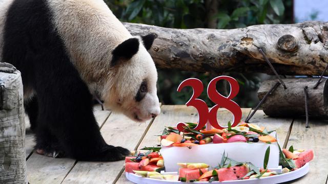 Panda Raksasa Penangkaran Tertua di Dunia Rayakan Ulang Tahun