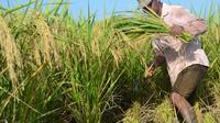 Seorang petani memanen padi yang dibudidayakan dengan teknik SRI Organik, varietas mentik wangi. (Foto: Liputan6.com/Muhamad Ridlo)