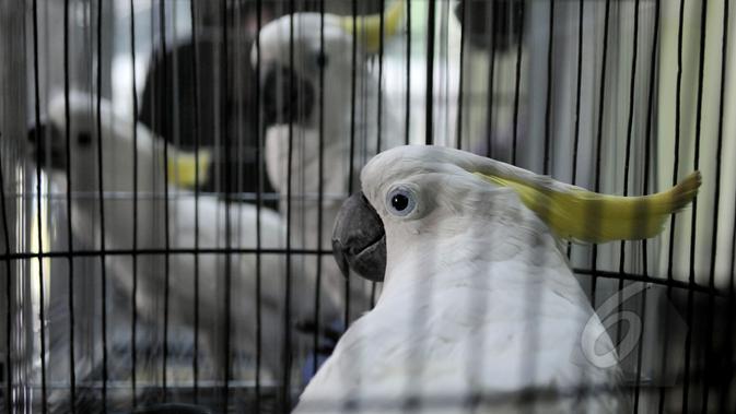 7 burung kakaktua jambul kuning dan satu burung kakatua raja berwarna hitam diserahkan ke Balai Konservasi Sumber Daya Alam (BKSDA), Jakarta, Senin (11/5/2015). Setelah burung diterima BKSDA, selanjutnya akan diserahkan ke TMII (Liputan6.com/Johan Tallo)
