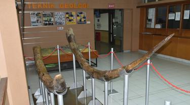 Fosil Stegodon dipajang di Lobby Prodi Teknik Geologi ITB. (Dok. Humas ITB)