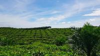Hamparan kebun milik petani sawit plasma PTPN V sebagai bahan baku utama bahan bakar nabati program green fuel. (Liputan6.com/M Syukur)