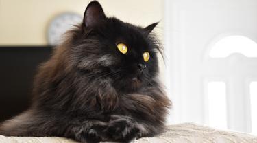 Jarang Dilirik, 5 Ras Kucing Berbulu Hitam ini Cocok Jadi Hewan Peliharaan