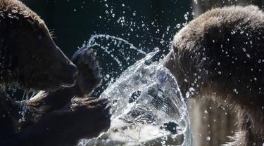 Anak beruang cokelat Gianni (kiri) dan Sam bermain di area Bioparco Roma, (24/5). Dua bayi beruang berusia 18 bulan ini sebelumnya dieksploitasi untuk foto bersama di sebuah hotel di Albania utara. (AP Photo/Alessandra Tarantino)