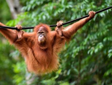 BKSDA Aceh Lepasliarkan Dua Orangutan Sumatera Sitaan