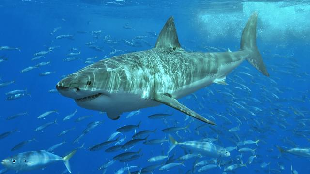 087885400 1469194232 White shark - 10 Jenis Ikan Hiu Terbesar Di Dunia