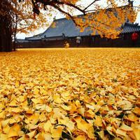 Guguran daun dari pohon berusia 1.400 ini seakan membentuk lautan emas.