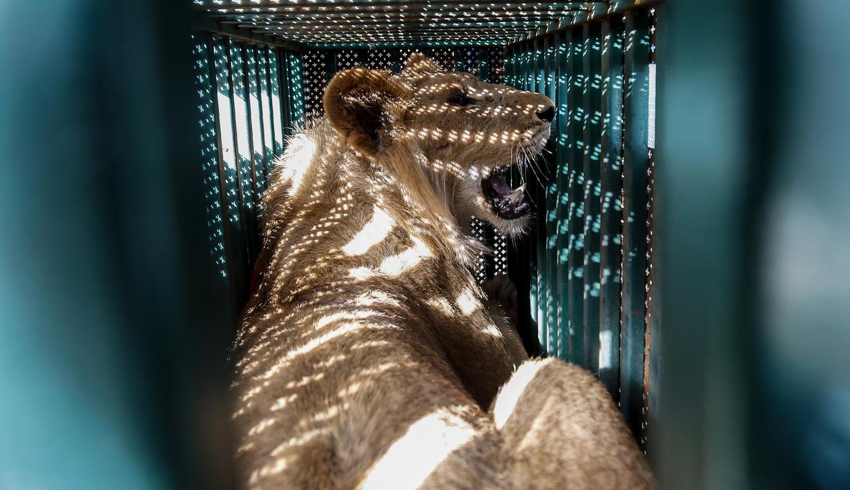 Seekor singa ditempatkan dalam kandang saat akan dievakuasi dari kebun binatang di Rafah, Jalur Gaza, Palestina, Minggu (7/4). Sebanyak 40 satwa dalam kondisi 'menyedihkan' dievakuasi dari sebuah kebun binatang di Jalur Gaza ke tempat penampungan di Yordania. (SAID KHATIB/AFP)