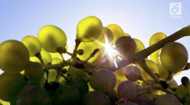 Panen anggur Jerman kini secara resmi berlangsung pada tanggal paling awal setelah musim panas. Rekor sebelumnya tercatat 8 Agustus 2017.