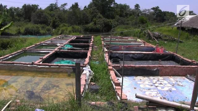 Ratusan kolam ikan para petani di kawasan Sugiwaras  dan sekitar kelurahan talang Jambi, kecamatan Sukarami Palembang, menderita kekeringan akibat kekurangan air selama musim kemarau.