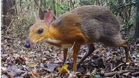 Hewan rusa tikus (Sumber: Worldofbuzz)