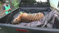 Anggota Balai Gakkum KLHK Sumatera mengamankan harimau Sumatera sebagai barang bukti. Foto: (Reza Efendi/Liputan6.com)