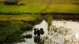 Seorang petani membawa padi yang dipanen di sawah di pinggiran Gauhati, India, Senin (27/5/2019). Lebih dari 70 persen penduduk India yang berjumlah 1,25 miliar terlibat dalam pertanian. (AP Photo/Anupam Nath)