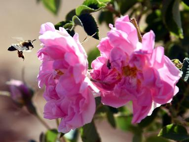 Lebih terlihat di dekat Damask atau Mawar Damask (Damascene Rose) yang populer saat musim panen di Kota al-Marah, sebelah utara ibu kota Damaskus, Suriah, (27/5/2020). (Xinhua/Ammar Safarjalani)