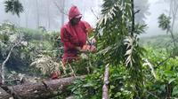 Petugas memotong pohon tumbang di kawasan kebun teh di kawasan Puncak Bogor. (Liputan6.com/Achmad Sudarno)