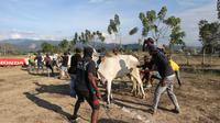 Di Desa Lolu, Kecamatan Sigi Biromaru, tradisi karapan sapi dimulai kembali untuk pertama kalinya usai gempa Magnitudo 7,4 yang menghancurkan kawasan tersebut. (Liputan6.com/ Heri Susanto)