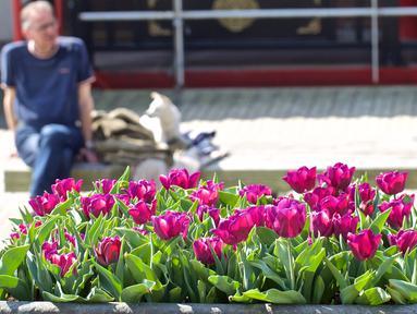 Berita Bunga Tulip Hari Ini Kabar Terbaru Terkini Liputan6 Com