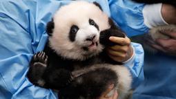 "Anak panda raksasa yang baru lahir ""Bao Mei"" diperkenalkan kepada publik  di taman margasatwa Pairi Daiza, Brugelette, Belgia, Kamis (14/11/2019). Panda kembar ""Bao Mei"" dan saudara jantanya ""Bao Di"" lahir pada Agustus 2019. (AP/Olivier Matthys)"