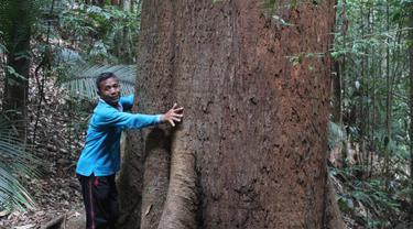 Pohon Besar di Hutan Adat Guguk