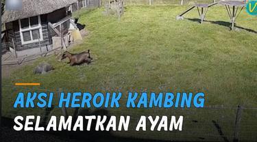 Seekor kambing lakukan aksi heroik menyelamatkan ayam dari serangan elang.