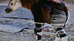 Bayi betina okapi menjelajahi kandangnya di Kebun Binatang Los Angeles, Selasa (23/1). Momentum kelahiran hewan unik ini dimanfaatkan kebun binatang untuk kampanye melindungi okapi yang terancam punah. (AP Photo/Richard Vogel)