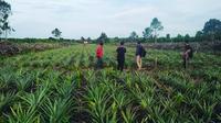 Kebun Nanas di Desa Kuala Alam/Instagram @bumdesa_kuala_alam.