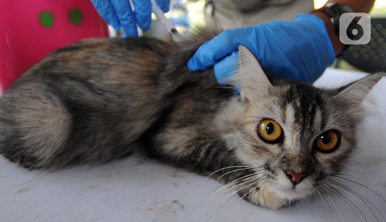 Dokter hewan dari  Suku Dinas Ketahanan Pangan Kelautan dan Pertanian Jakarta Selatan menyuntikkan vaksin antirabies kepada seekor kucing di Perumahan Bumi Karang Tengah, Jakarta Selatan, Selasa (21/9/2021). Kegiatan ini dilakukan secara gratis. (merdeka.com/Arie Basuki)