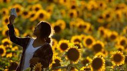 Seorang wanita mengambil foto dari ladang bunga matahari di Grinter Farms, dekat Lawrence, Kansas, 8 September 2018. Setiap tahunnya, keluarga Grinter menanami ribuan benih bunga matahari di lahan seluas 14 hektar tersebut. (AP Photo/Charlie Riedel)
