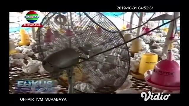 Ratusan ayam broiler yang mati tersebut milik para peternak di Kecamatan Semanding Kabupaten Tuban. Ayam yang mati terbilang cukup banyak, bisa mencapai 25 ekor per blok kandang.