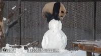 Da Mao mendapatkan mainan baru dari penjaganya, sebuah boneka salju (Dailymail.com/ facebook/Toronto Zoo)