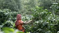 Minum dan berbagi rasa, serta pengalaman minum kopi asli Indonesia, Anda bisa mendapat kesempatan melihat proses panen kopi di Gunung Halu.