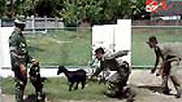 Di Bima, Nusa Tenggara Barat, kambing sudah biasa bermain di jalan raya sehingga jalanan penuh dengan hewan tersebut. TNI dan Satpol PP pun dikerahkan untuk berburu kambing.