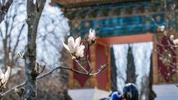 Bunga magnolia terlihat di Beijing Garden di dekat Danau Burley Griffin, Canberra, Australia (7/9/2020). Baru-baru ini, semakin banyak warga setempat yang pergi keluar untuk menikmati pemandangan bunga di Beijing Garden yang terletak di pusat kota. (Xinhua/Chu Chen)