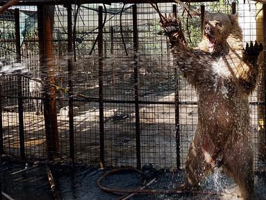Beruang disemprotkan air saat cuaca panas melanda di Kebun Binatang pribadi di Basra, 340 mil (550 kilometer) tenggara Baghdad, Irak (30/7). Layanan cuaca Irak memperingatkan suhu meningkat hingga mencapai 51 derajat Celcius. (AP Photo/Nabil al-Jurani)